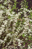Bush with white blossom Royalty Free Stock Photo
