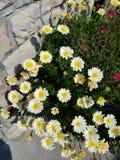 Bush of white daisies royalty free stock photos