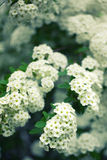 Bush with white flowers Royalty Free Stock Photos