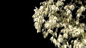Bush with white flowers isolated. A bush of many branches with white flowers on a transparent background. isolated object with alpha channel stock video