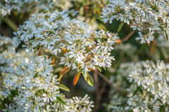 Bush of white flowers. White flowers , White lilac flowers background , Guelder rose blossoms, little white flower Stock Photos