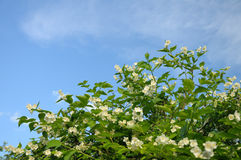 Bush with white flowers at the sky background. Bush with a lot of spring buds at the blue (and partially clouded) sky background royalty free stock images