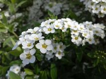 Bush of white flowers in spring stock image
