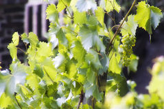 Bush of white grape in a sunny day.. Stock Photos