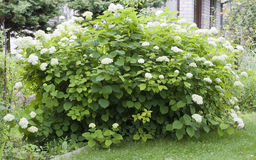 Bush of White Hydrangea Stock Image