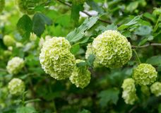 Bush white hydrangea, large head of small flowers lemon color close-up spring stock image