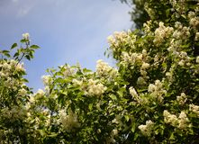 A bush of white lilac on a blue sky background. On a sunny day stock image