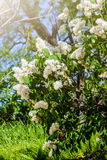 The bush of white lilac Royalty Free Stock Image