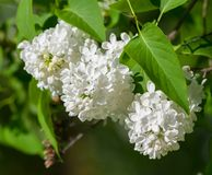 A bush of white lilac, three clusters of flowers in full bloom. On a branch, fresh, spring, lit by the sun Royalty Free Stock Images