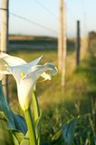 Bush of white lilies. Bunch of white lillies by the wire fence Royalty Free Stock Photo