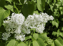 Bush of white lillac. Royalty Free Stock Photography