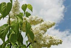 Bush of white lillac. Stock Image
