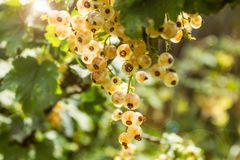 Bush of white organic currant royalty free stock photography
