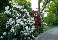 A bush with white rhododendron flowers. Royalty Free Stock Photos