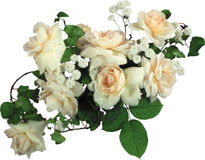 Bush of white roses. Stock Images