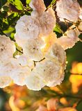 A bush of white roses Royalty Free Stock Images