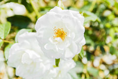 Bush of white roses beautiful outdoors Royalty Free Stock Photos
