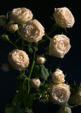 A Bush of white roses. A Bush of white roses on a dark background Stock Photo
