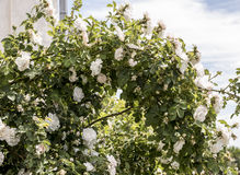 Bush of white roses in early summer Stock Photography