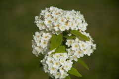 Bush with white small flowers on the green background,Izmir,Turk Royalty Free Stock Photography