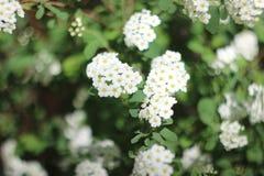Bush of White Spirea Flowers. A bush of white spirea flowers. The bokeh is swirly Stock Photo