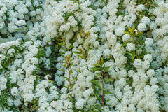 A bush of white  spirea flowers. Detail of a clusters of white flower of the spirea Royalty Free Stock Image