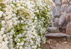 A bush of white  spirea flowers. A bush of white flowers spirea leads to a stone staircase Stock Photos