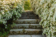 A bush of white  spirea flowers. A bush of white flowers spirea leads to a stone staircase Royalty Free Stock Photos