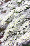 Bush white spirea. On a green background Royalty Free Stock Photo