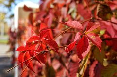 Bush with red autumn leaves stock photos