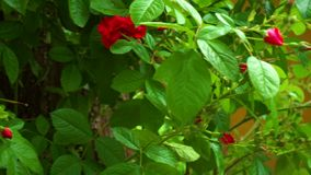 Bush with wild red roses stock video