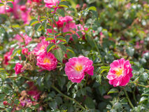 Bush of wild rose Royalty Free Stock Photo