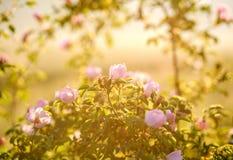 Bush wild roses in warm light of sun, soft focus Stock Photo