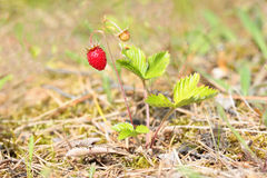 Bush of wild strawberries in the forest Stock Image