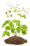 Bush of wild strawberries Royalty Free Stock Photos