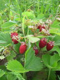Bush wild strawberries Stock Images