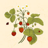 Bush of wild strawberries. Vintage vector illustration Royalty Free Stock Image