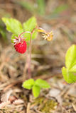 Bush of wild strawberries in the woods. Fragaria Stock Images