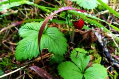 The bush of wild strawberry stock images