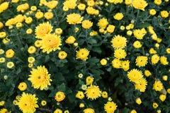 Bush with wild yellow flowers. stock image