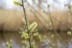 Bush with willow catkins in early spring Royalty Free Stock Photos