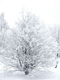 Bush in winter Royalty Free Stock Photography