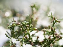 Bush in winter background. Tree with tiny cones covered with ice in the winter Royalty Free Stock Image