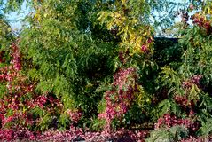 Bush y árbol con las hojas del rojo y del verde fotos de archivo