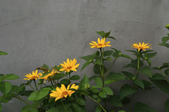 Bush of yellow camomiles against a wall Royalty Free Stock Image