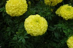 A bush of yellow carnations. A cluster of yellow carnations growing on a bush. Some buds are hidden amongst the green foliage Stock Image