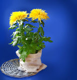 Bush of  yellow chrysanthemum on a dark blue background Royalty Free Stock Image