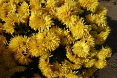 Bush of yellow Chrysanthemums in bloom. Bush of yellow Chrysanthemums in full bloom stock images