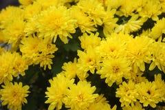 A bush of yellow chrysanthemums. Solar autumn chrysanthemums in the garden stock photo