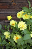 Bush of yellow dahlia, on wooden backdrop Royalty Free Stock Images